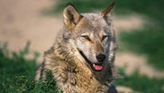 Ein Wolf sitzt in einem Feld. © Anka Agency International/picture-alliance Foto: Gerard Letz