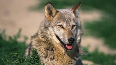 Ein Wolf sitzt in einem Feld. � Anka Agency International/picture-alliance Fotograf: Gerard Letz