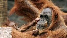 Ein Orang-Utan-Baby spielt im Affenhaus Hagenbeck mit seiner Mutter. © dpa Foto: Ulrich Perrey