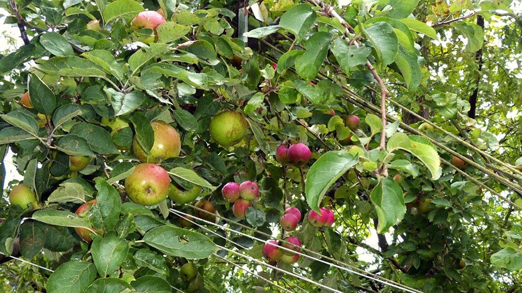 veredelter apfelbaum tr gt 100 sorten nachrichten schleswig holstein. Black Bedroom Furniture Sets. Home Design Ideas