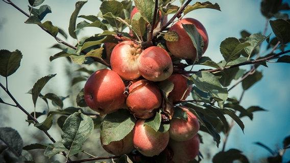 Atemberaubend Sommerschnitt bei Apfelbäumen im August | NDR.de - Ratgeber @KH_33