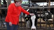 Angela Merkel streichelt den Kopf einer Kuh, die ihren Kopf durch das Fressgitter gesteckt hat. © dpa-Bildfunk Fotograf: Carsten Rehder