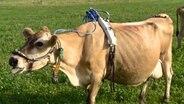 Eine Kuh steht auf einer Wiese. Sie hat einen Gürtel um den Bauch geschnallt, an dem Schläuche befestigt sind, die zum Maul führen.