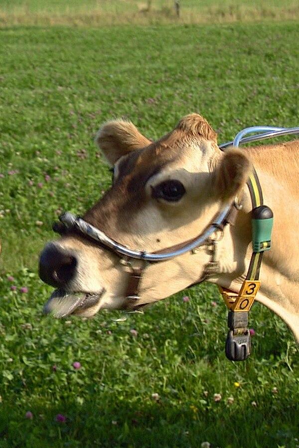 Kieler Forscher machen Abgastest für Kühe