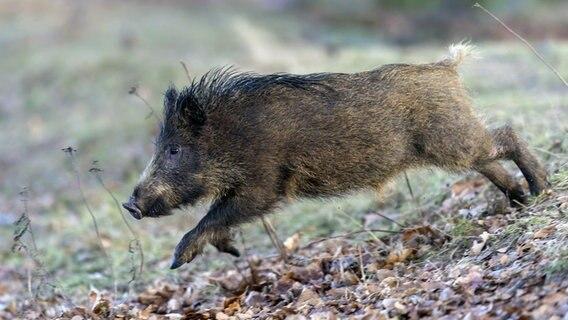 Schweinepest Danische Regierung Plant Grenzzaun Ndr De
