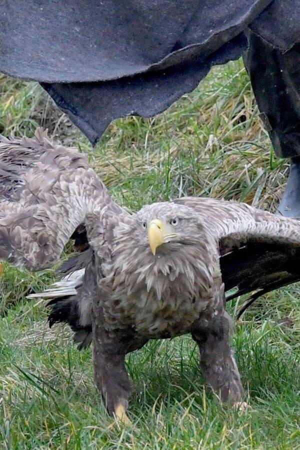 Seeadler aus Wildpark Eekholt darf wieder fliegen