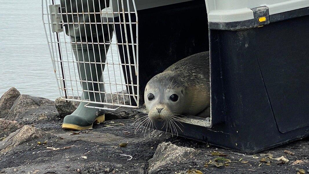 Erster Heuler verlässt Seehundstation Friedrichskoog