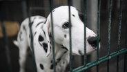 Ein Dalmatiner steht hinter grünen Gitterstäben in einem Tierheim. © picture alliance Foto: Henning Kaiser