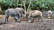 Einige Wildschweine durchpflügen den Boden auf der Suche nach Futter. © NDR Foto: Janine Artist