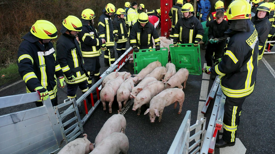 Tarp: Schweinelaster umgekippt