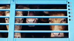Drei Rinder schauen aus einem Viehtransporter © imago/Christopher Rennie Foto: Christopher Rennie