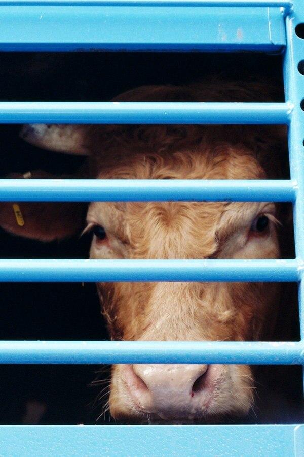 Land schränkt Tiertransporte in Drittländer ein