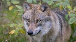 Ein europäischer Wolf (canis lupus lupus) guckt aus einem Wald mit Gebüsch hervor. © ImageBROKER / dpa Picture Alliance Foto: Frank Sommariva