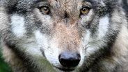 Nahaufnahme eines Wolfes im Wildpark Eekholt. © picture alliance/dpa Foto: Carsten Rehder