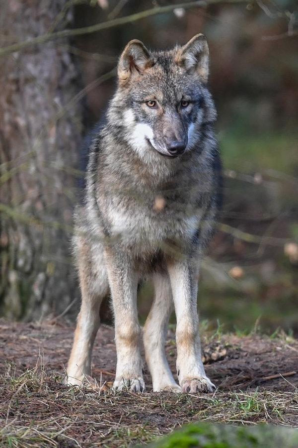 Problemwolf ist nach Osten weitergezogen