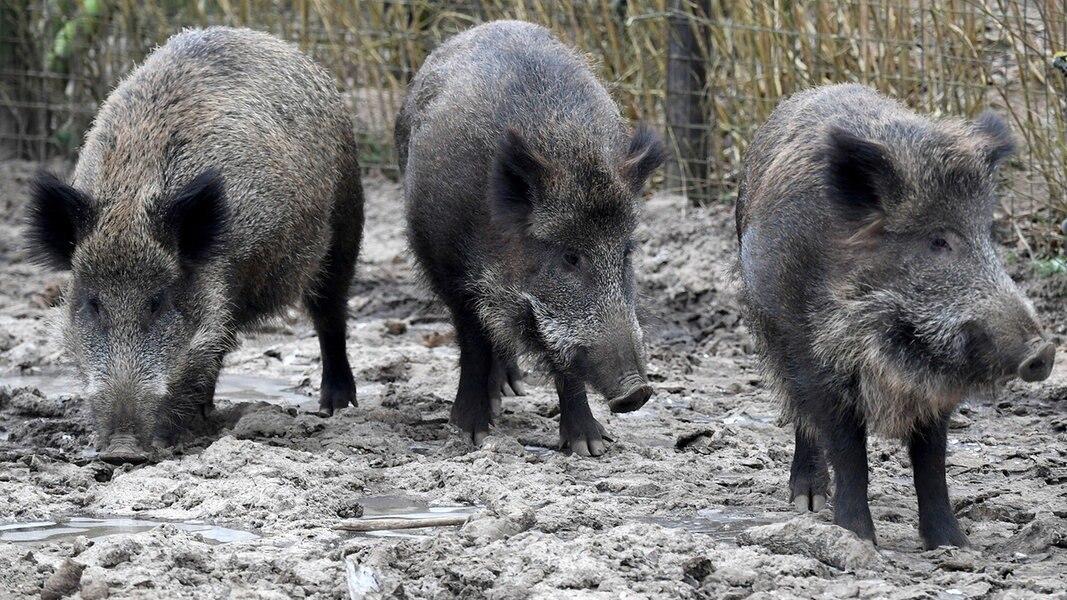 Hochansteckendes Virus bei Wildschwein nachgewiesen