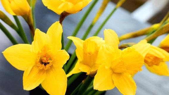 Narzissen Pflanzen Und Pflegen