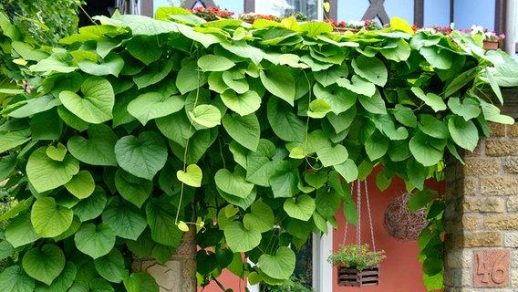 sch ne kletterpflanzen f r garten und balkon ratgeber garten zierpflanzen. Black Bedroom Furniture Sets. Home Design Ideas