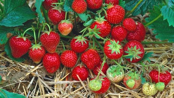 Gemeinsame Erdbeeren pflanzen, pflegen und vermehren | NDR.de - Ratgeber @DF_58