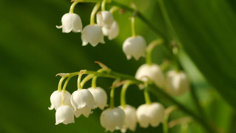 Maiglöckchen Giftig diese gartenpflanzen sind giftig ndr de ratgeber garten