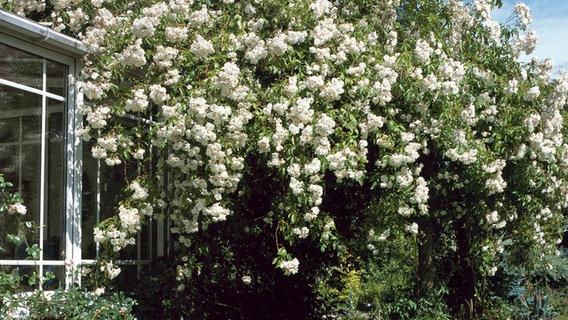 Schone Kletterpflanzen Fur Garten Und Balkon Ndr De Ratgeber
