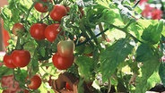 Tomatenpflanze auf einem Balkon © picture-alliance/FLORA PRESS