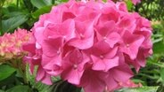 hortensien pflegen schneiden und berwintern ratgeber garten zierpflanzen. Black Bedroom Furniture Sets. Home Design Ideas