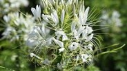Eine Spinnenblume (Cleome spinosa) © picture alliance / dpa Themendienst Foto: Andrea Warnecke