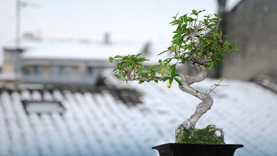 Bonsai Kaufen Schneiden Und Pflegen Ndr De Ratgeber Garten