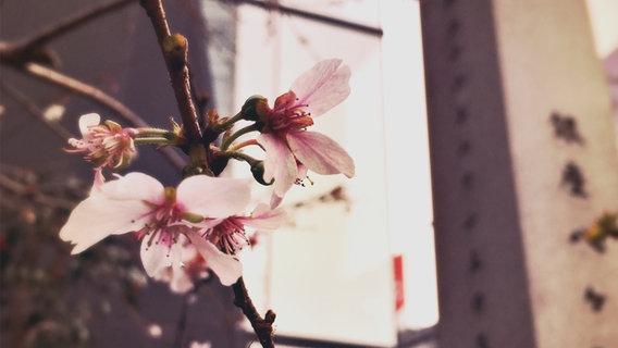 Eine Kirschblüte © NDR Fotograf: Anna Novák