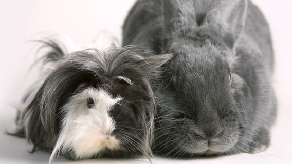 Kanninchen und Meerschweinchen sitzen nebeneinander. © Picture-Alliance