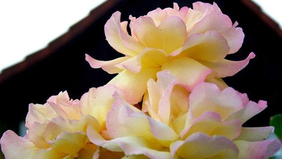 preisgekr nte rosen f r den garten ratgeber garten zierpflanzen. Black Bedroom Furniture Sets. Home Design Ideas