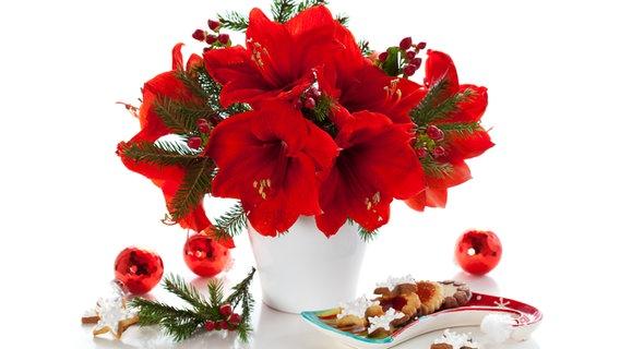 amaryllis und ritterstern richtig pflegen ratgeber garten zimmerpflanzen. Black Bedroom Furniture Sets. Home Design Ideas