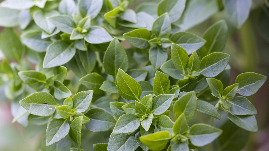 Buschbasilikum: Pflegeleicht und aromatisch