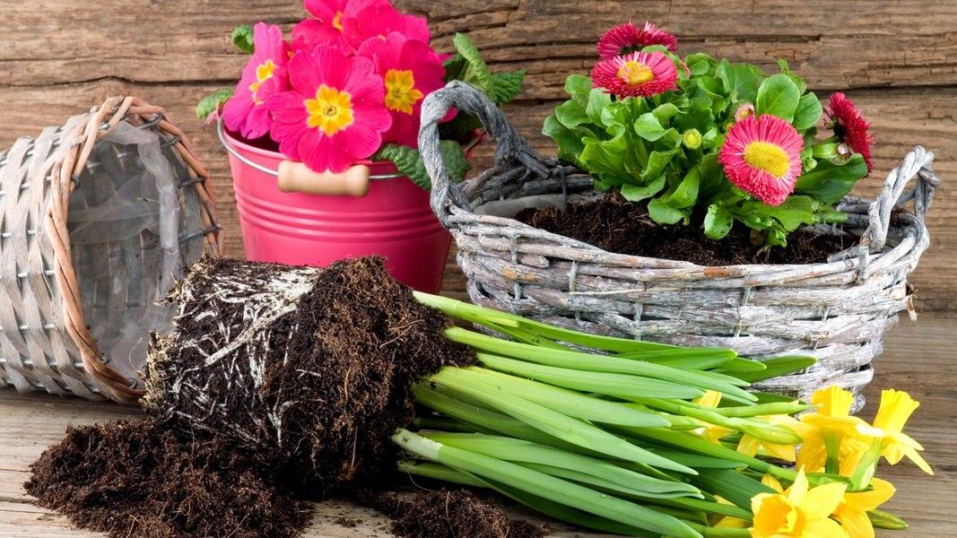 Fr hbl her zwiebelpflanzen f r zu hause - Geschenk dekorieren ...
