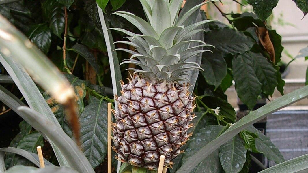 Tropische Pflanzen Auf Der Fensterbank Ziehen Ndr De Ratgeber