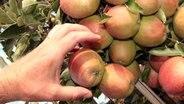 Eine Hand nimmt einen Apfel auf einen Baum © imago / Ralph Peters Foto: Ralph Peters