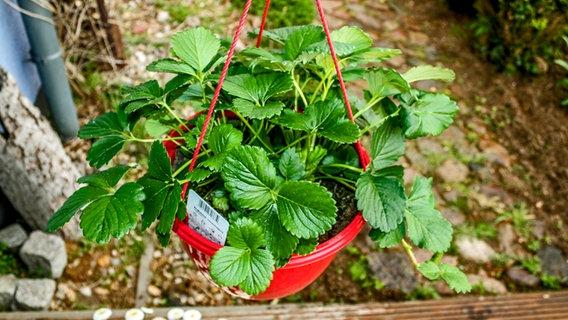 Obst Auf Balkon Und Terrasse Anbauen Ndr De Ratgeber Garten