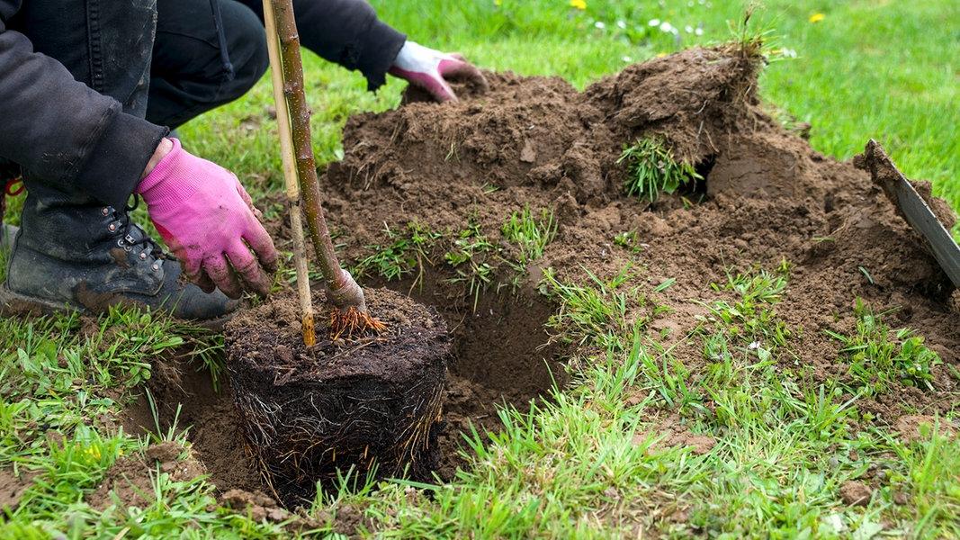 obstb ume im herbst pflanzen ratgeber garten nutzpflanzen. Black Bedroom Furniture Sets. Home Design Ideas