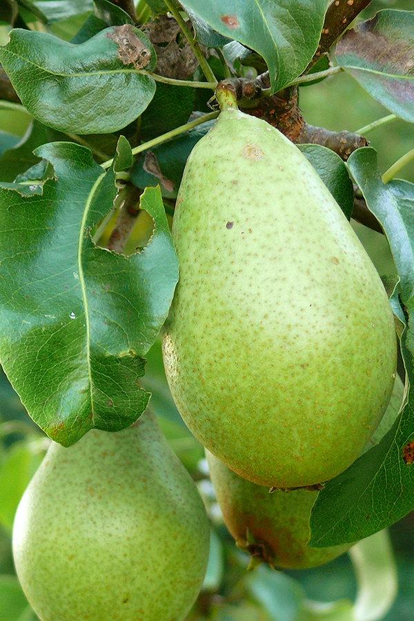 Birnbaume Pflanzen Und Pflegen Ndr De Ratgeber Garten