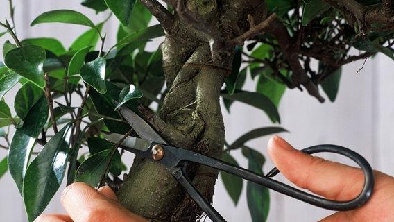 bonsai kaufen schneiden und pflegen ratgeber garten zierpflanzen. Black Bedroom Furniture Sets. Home Design Ideas