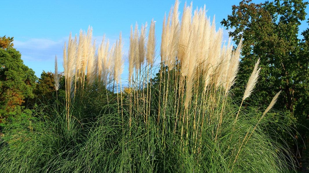 Die Schönsten Gräser Für Den Garten ziergräser sorten im überblick ndr de ratgeber garten