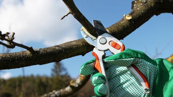 Obstbaume Im Winter Richtig Schneiden Ndr De Ratgeber Garten