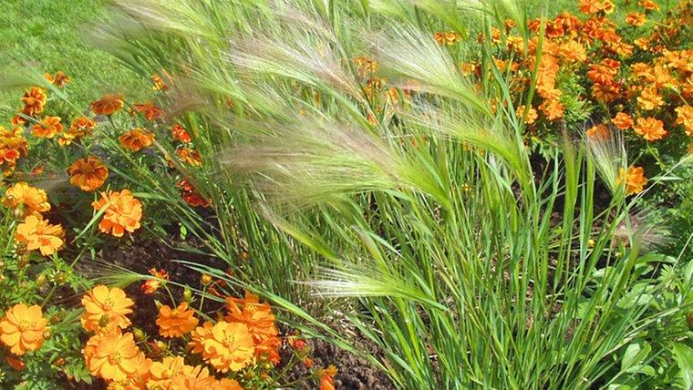 Gräser Für Garten ziergräser sorten im überblick ndr de ratgeber garten