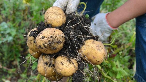 Kartoffel Einpflanzen