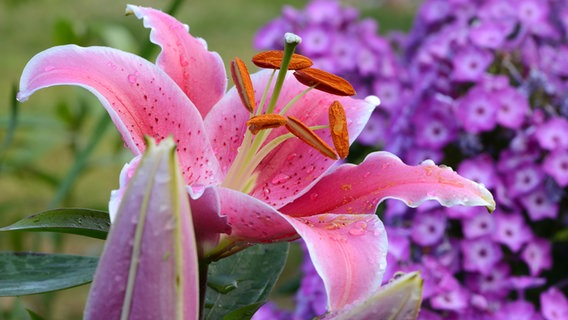 Ganz und zu Extrem Lilien richtig pflanzen und pflegen | NDR.de - Ratgeber - Garten &ON_29