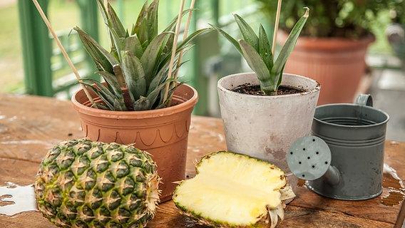 Eine Ananas Pflanze Selbst Ziehen Ndr De Ratgeber Garten