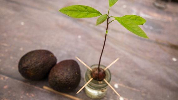 Bevorzugt Avocado-Pflanze aus einem Kern ziehen | NDR.de - Ratgeber - Garten EB49