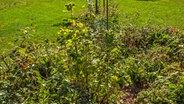 beerenstr ucher pflanzen pflegen und schneiden. Black Bedroom Furniture Sets. Home Design Ideas