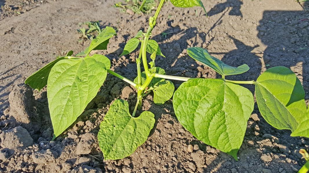 Atemberaubend Bohnen pflanzen in Topf und Beet | NDR.de - Ratgeber - Garten @TG_81